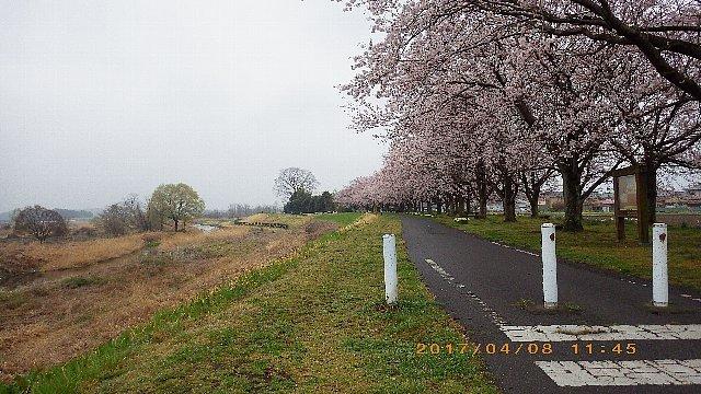 どんよりとした曇天の花見ライド 005.JPG